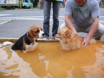 温泉に入るミックス犬とポメラニアン
