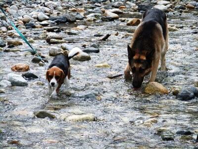 白馬の平川を歩くミックス犬とシェパード
