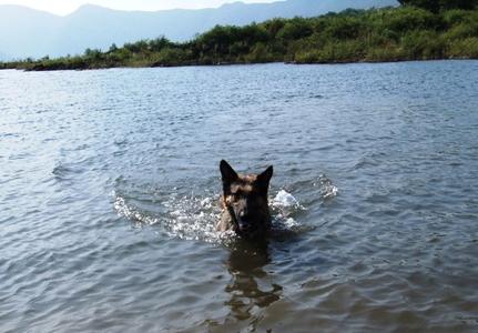 本栖湖で泳ぐシェパード