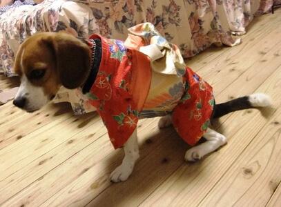 着物を来たミックス犬