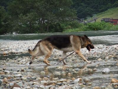 白馬の平川の浅瀬を歩くシェパード