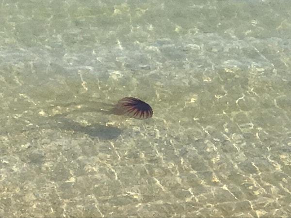 瀬戸内海を泳ぐクラゲ