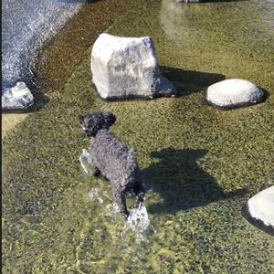 水の中をポチャポチャと楽しそうに歩くトイプードル