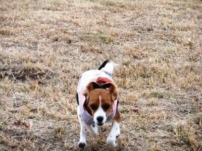 細野高原を走るミックス犬