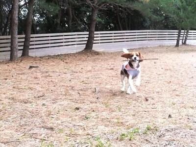 仔犬のワルツドッグランを走るミックス犬