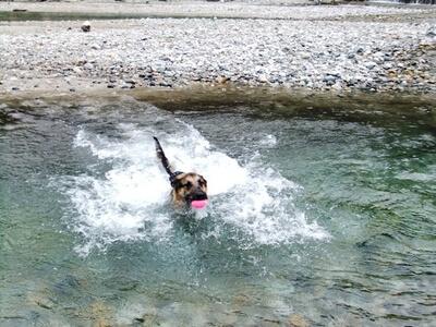 白馬の平川をボールを咥えて泳ぐシェパード