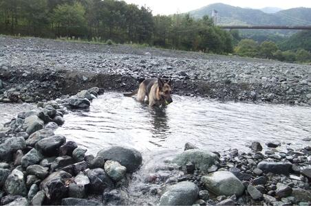 水無川で遊ぶシェパード