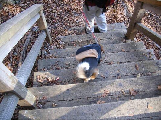 パノラマ台ハイキングコースの階段を降りるミックス犬の後ろ姿