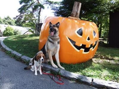 ハロウィンのかぼちゃの前に並んで座るシェパードとミックス犬