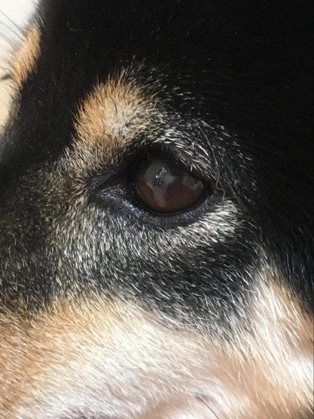 愛犬の左眼の白い斑点