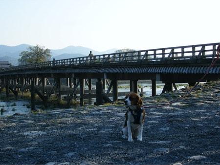 愛犬、嵐山渡月橋にて