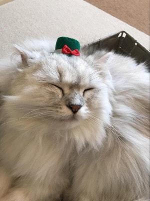 猫カフェ「ねこ茶」の猫さん