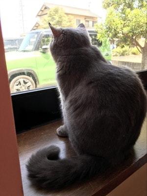 猫カフェ「ねこ茶」外を見つめる猫さん