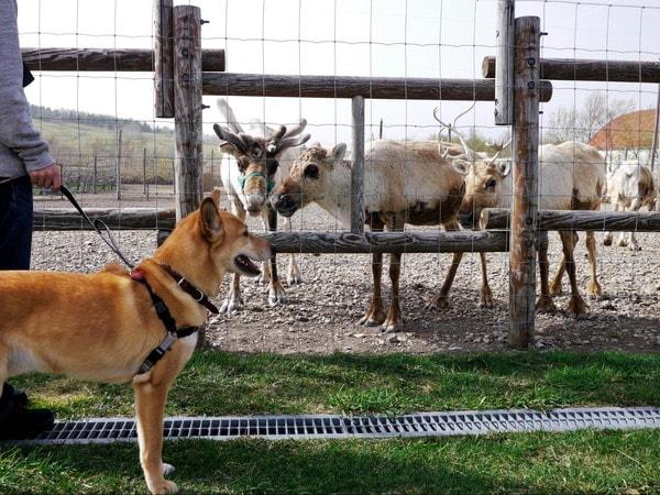 集まってきたトナカイと目を合わせない愛犬