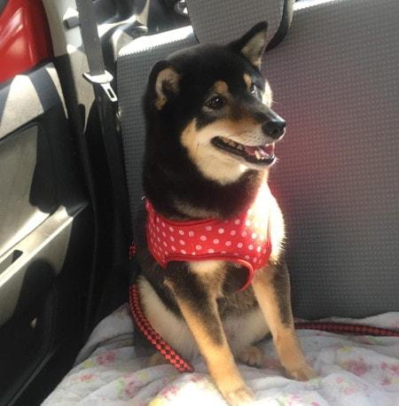病院へ向かう愛犬