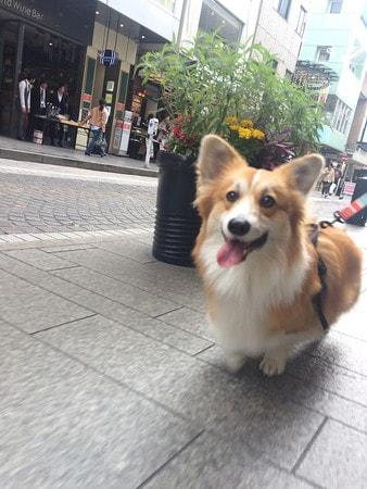 初めて歩く元町商店街で興奮気味なコーギー犬