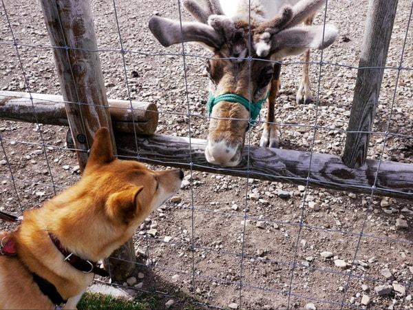 トナカイと挨拶をする愛犬
