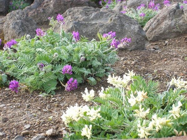 利尻島ロックガーデン高山植物