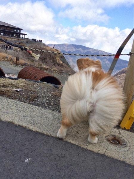 大涌谷で強風に吹かれる愛犬のお尻