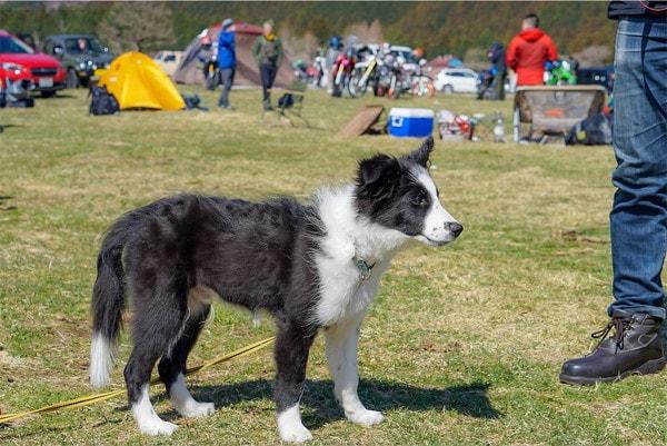 テント設営を見守る愛犬