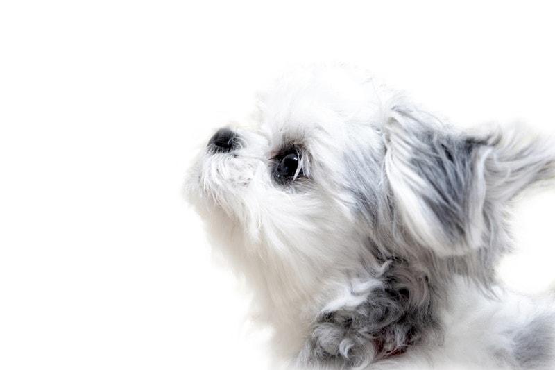 ミックス犬「チワマル」の性格、病気、特徴、お手入れの方法は