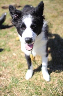 ふもとっぱらキャンプ場でたくさん遊んで満足気な愛犬