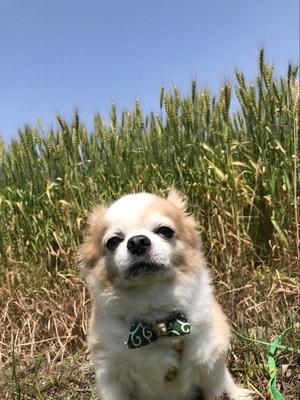 愛犬マメぞうと香川県の麦畑