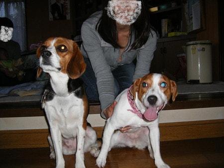 ジャックラッセルと愛犬蕾