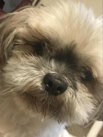 通常の健康時の愛犬(シーズーとチワワのミックス)