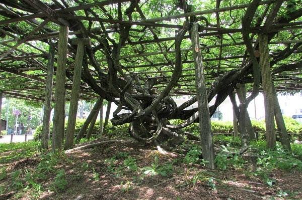 小田原城の藤棚
