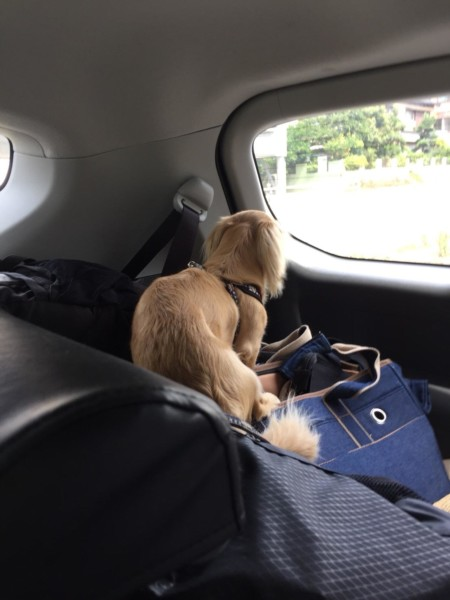 向かう車中の愛犬