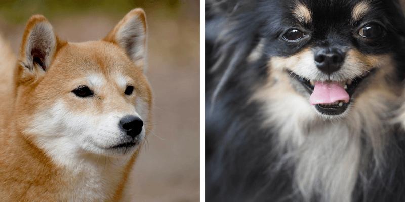 ポメラニアン 柴犬 ミックス