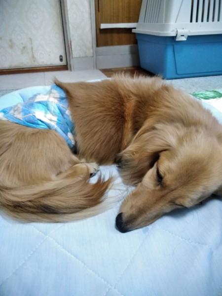 疲れて寝ている愛犬