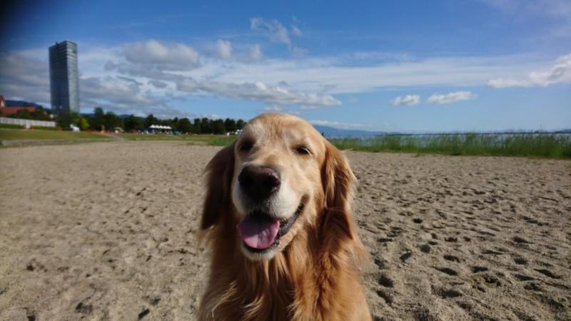 愛犬のゴールデンレトリーバー