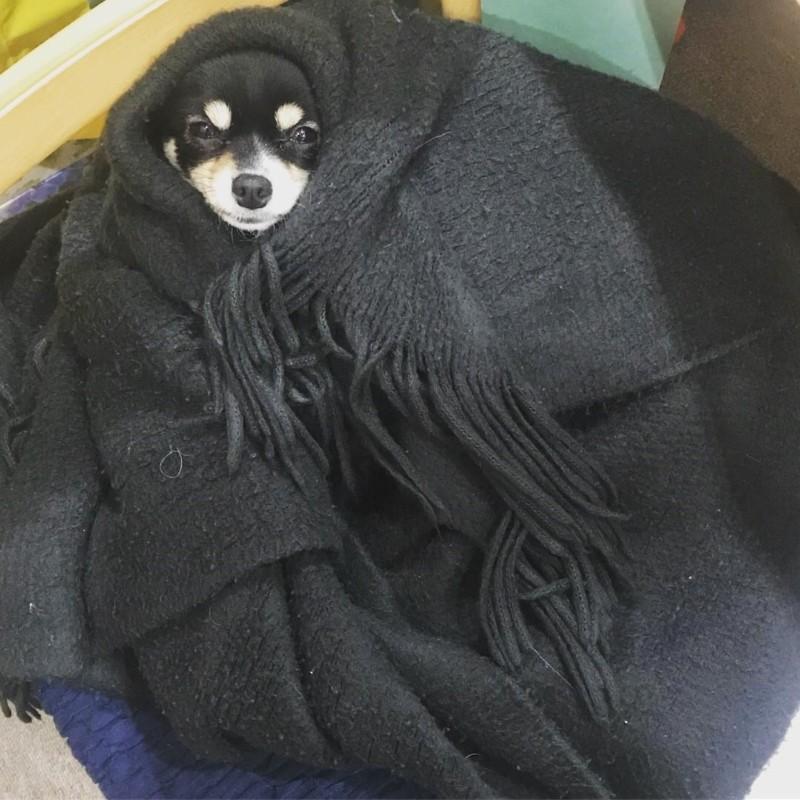 体温が下がり、身動き出来ない愛犬、びび