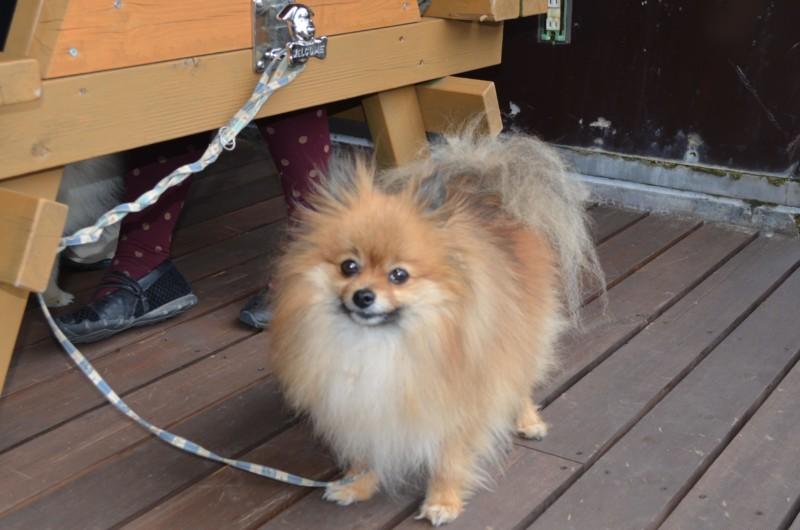ウッドテーブルでお利口に待つ愛犬