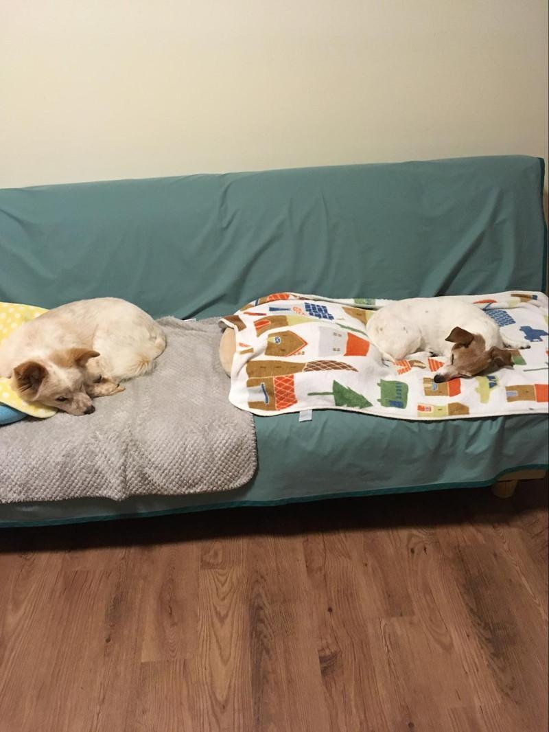 山中湖 カーロ・フォレスタの部屋のソファーでくつろぐ愛犬達