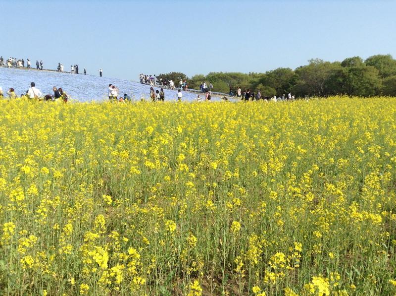 国営ひたち海浜公園 みはらしの里 菜の花畑
