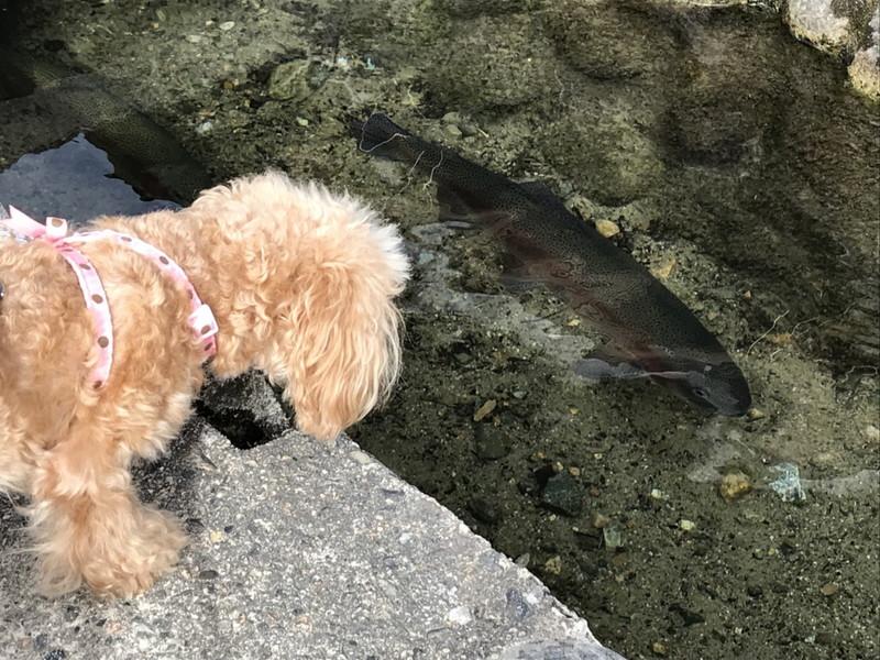 側溝を泳ぐマスを見つめるトイプードル