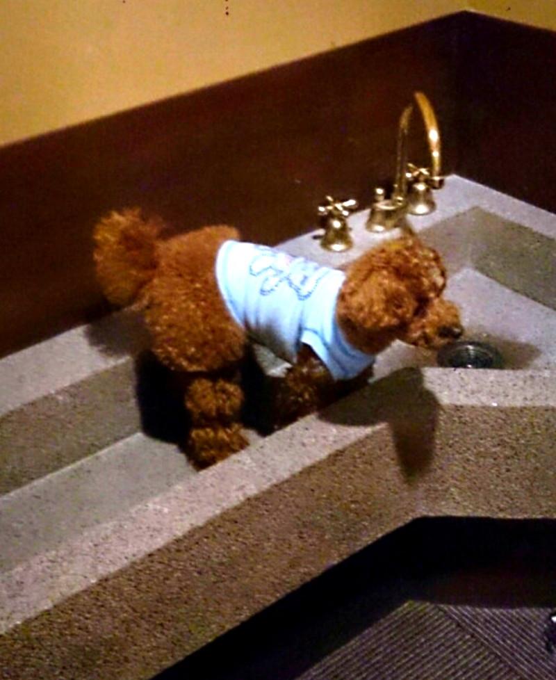 早速足洗い場に乗せられる愛犬
