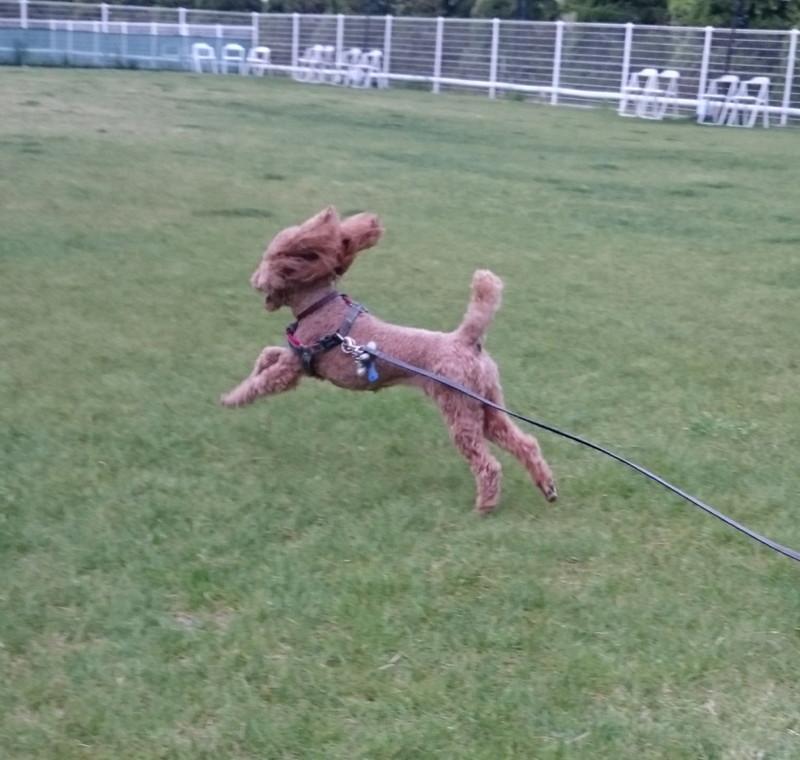 ビワドッグのドッグランで思いっきり走る愛犬