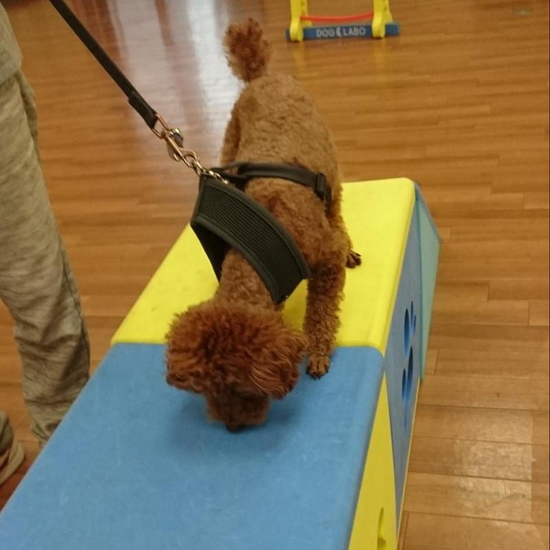 ビワドッグの室内ドッグラン。遊具に興味深々の愛犬