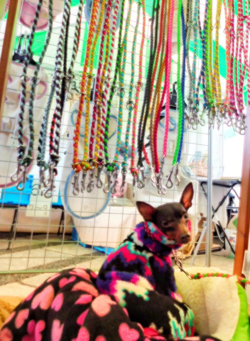 お店の看板犬の寒がりなミニピンちゃん。
