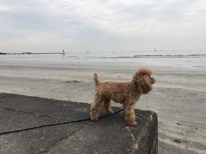 鎌倉材木座海岸で海を見つめるトイプードル