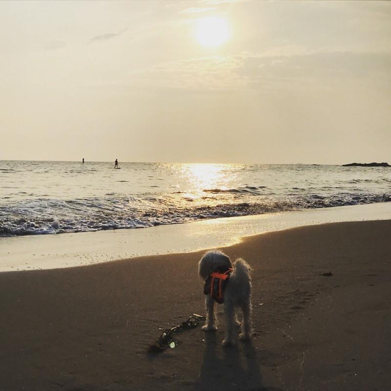 秋谷海岸の夕陽とトイプードル