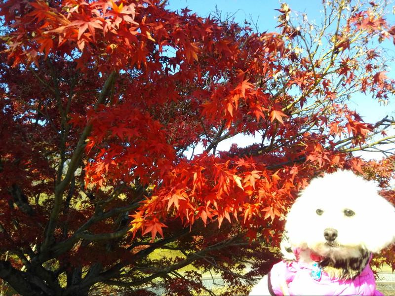 滋賀県立陶芸の森駐車場のモミジと愛犬