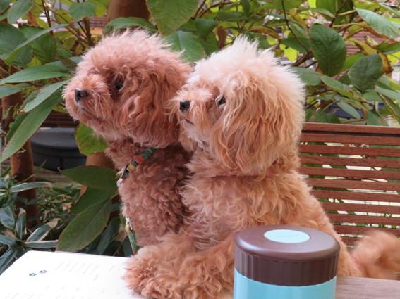 愛犬マオとサラ