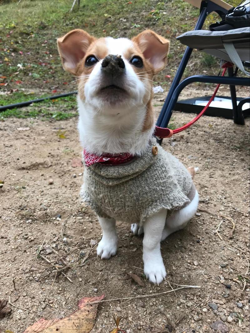 ニット着用の愛犬ラスティー