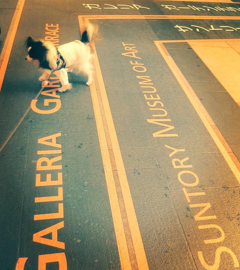 東京ミッドタウンの敷地を歩く愛犬
