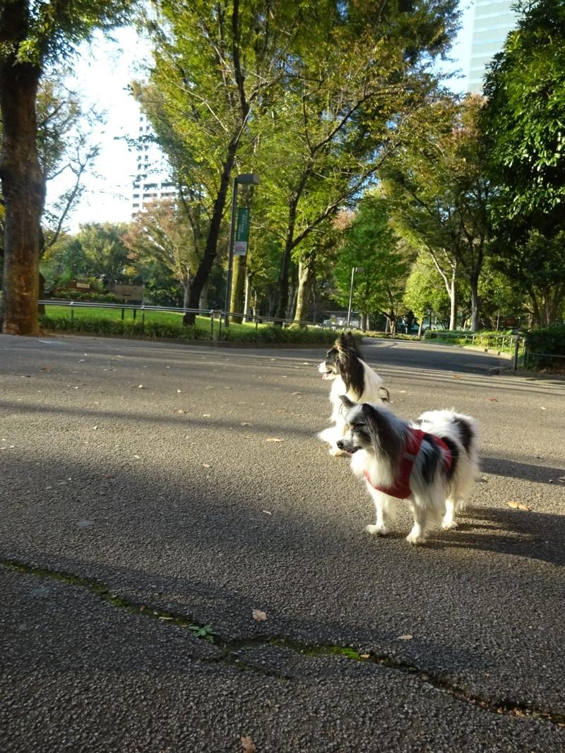平日の新宿中央公園は空いていて小型犬でも歩き易いね